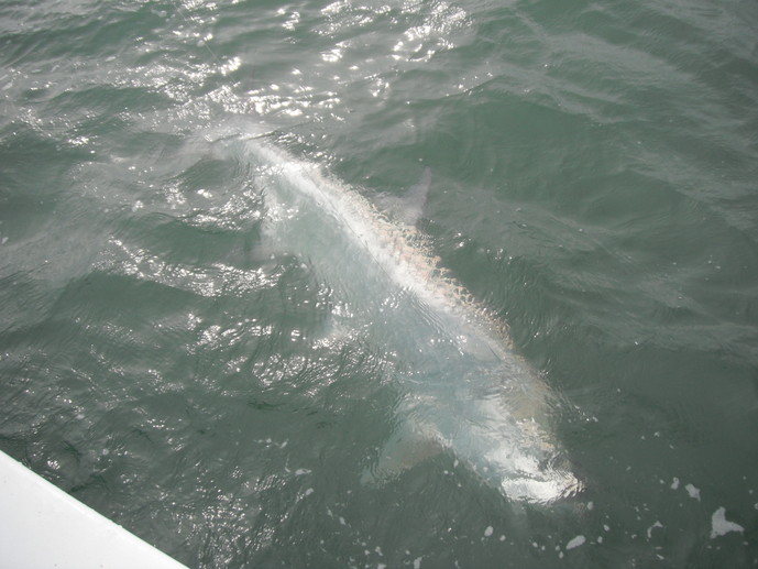 tarpon charters st.pete,clearwater,orlando,tampa